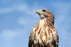 Lugger猎鹰 免版税库存图片