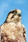 Lugger猎鹰 免版税图库摄影