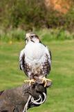 Lugger falcon Stock Image