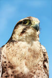 Lugger Falcon Royalty Free Stock Photography