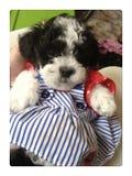 4 luglio cucciolo Immagini Stock Libere da Diritti