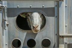 17 luglio 2016 - primo piano delle pecore sulla MESA di Hastings vicino a Ridgway, Colorado dal camion Immagini Stock Libere da Diritti