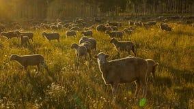 17 luglio 2016 - rgraze delle pecore sulla MESA di Hastings vicino a Ridgway, Colorado dal camion Fotografie Stock
