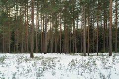 Lugna dag i vinter i pinjeskog Royaltyfri Bild