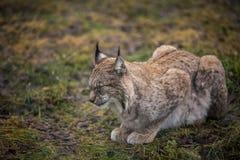 Lugna lodjur i ståenden för höstskognärbild av den lösa katten i den naturliga miljön Arkivbild