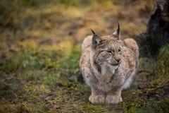 Lugna lodjur i ståenden för höstskognärbild av den lösa katten i den naturliga miljön Royaltyfria Bilder