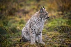 Lugna lodjur i ståenden för höstskognärbild av den lösa katten i den naturliga miljön Fotografering för Bildbyråer
