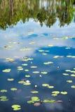 Lugna sjöyttersida med waterlilies och sörjer träd reflekterade i vattnet royaltyfria foton