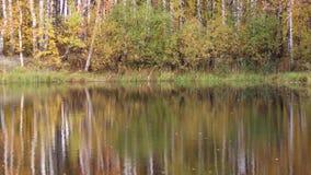 Lugna vatten i skogdammet, träd med gula sidor arkivfilmer