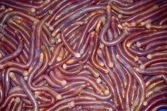 Lugworms, Guangzhou, China Stock Photo