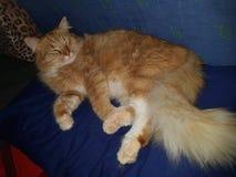 Lui katten oranje pluizig vet Stock Foto's