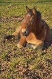 Lui paard op een gebied stock afbeelding