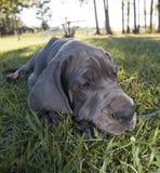 Lui puppy Royalty-vrije Stock Afbeelding