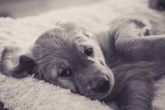 Lui puppy royalty-vrije stock fotografie
