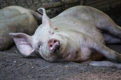 Lui slaperig varken in het vuil stock foto