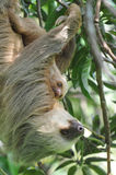 Luiaard, drie teen volwassen moeder met baby, Costa Rica Stock Afbeeldingen