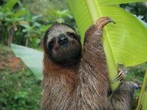Luiaard in een banaanboom Royalty-vrije Stock Afbeeldingen