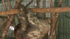 Luiaard hangende bovenkant - neer, Costa Rica Sanctuary stock videobeelden