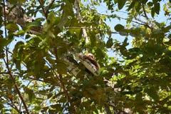 Luiaard het hangen in een boom in Gamboa Panama stock foto's