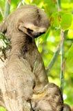 Luiaard op een boom die klauw bekijken Royalty-vrije Stock Foto's