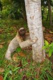 Luiaard ter plaatse klaar om op een boom te beklimmen Royalty-vrije Stock Foto
