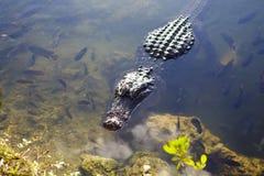 Luie Alligator 1 Royalty-vrije Stock Afbeelding