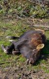 Luie Amerikaanse elanden Stock Foto