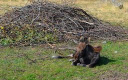 Luie Amerikaanse elanden Royalty-vrije Stock Fotografie