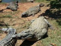 Luie croc Stock Foto's