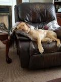 Luie dagen voor jong geel Labrador stock afbeelding