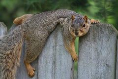 Luie Eekhoorn royalty-vrije stock afbeeldingen