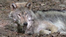 Luie Europese wolf die in bos rusten stock videobeelden