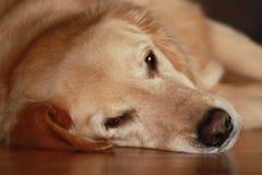 Luie Hond Royalty-vrije Stock Afbeelding