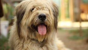 Luie hond stock video