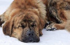 Luie hond die op sneeuw liggen Royalty-vrije Stock Foto's