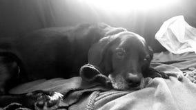 Luie hond op laag royalty-vrije stock afbeeldingen
