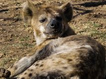 Luie Hyena in de Zon Royalty-vrije Stock Foto's