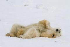 Luie ijsbeer Royalty-vrije Stock Foto's