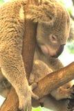 Luie koala Royalty-vrije Stock Afbeelding