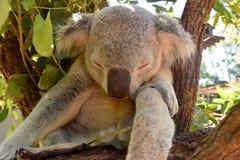 Luie koala Stock Foto's