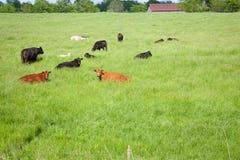 Luie koeien Royalty-vrije Stock Foto
