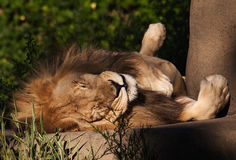 Luie Leeuw bij Dierentuin Stock Fotografie