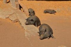 Luie, leuke en mooie pot-bellied varkens die een dutje nemen stock afbeelding