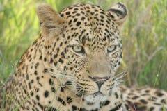 Luie luipaard Stock Foto