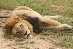 Luie mannelijke leeuw Royalty-vrije Stock Foto's