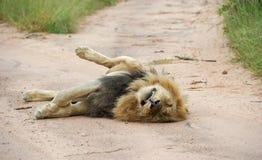 Luie mannelijke leeuw die in de weg ligt Stock Afbeelding
