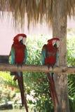 Luie papegaaien Royalty-vrije Stock Foto's