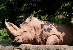 Luie Rinoceros Stock Afbeelding