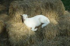 Luie schapen Royalty-vrije Stock Foto