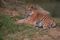 Luie tijger in de dierentuin stock afbeeldingen